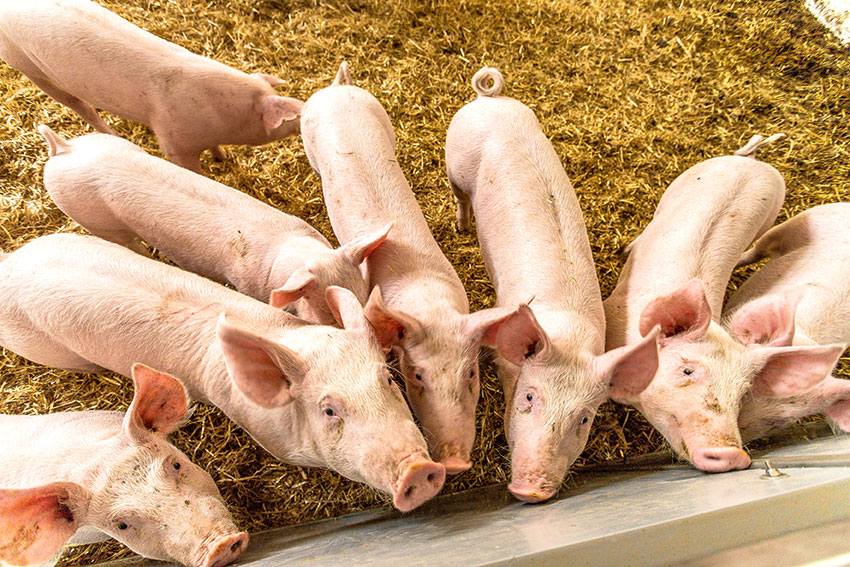 ryhmä sikoja katsoo kameraan